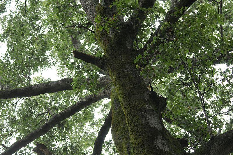 tree_canopy_5494221359